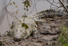 Nile Crocodile Crocodylus Nilo...
