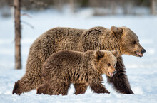 She-bear And Bear Cub Walking On The Snow In Winter Forest. Wild Nature, Natural Habitat. Brown Bear, Scientific Name: Ursus Arctos Arctos.