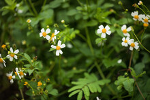 Bidens Pilosa Flowers Blooming In Summer