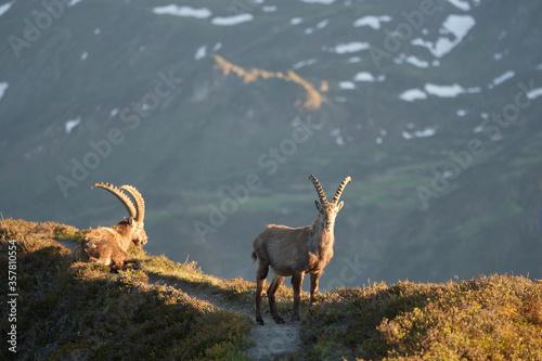 Capricorn Alpine Ibex Capra ibex Mountain Swiss Alps Fototapet
