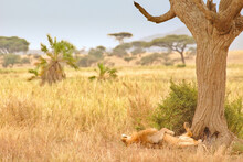 Male Lion Relaxing Under Tree ...