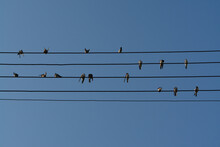A Swallows, Sitting On The Wires Against The Clear Blue Sky Like Notes On The Stave. Birds On The Five Wires, Looking Like Musical Notes