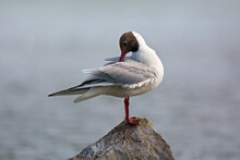Beautiful Black-headed Gull Stands On Stone