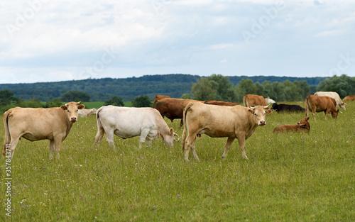 Tela petit troupeau vaches au pâturage