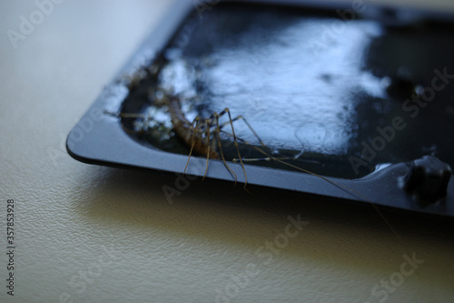Fotomural Centipede caught and dead on glue trap.