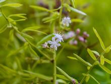 Asparagus Fern -Sprenger's
