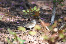 A Chipping Sparrow Dancing Amo...