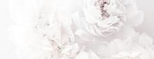 Pure White Peony Flowers As Fl...