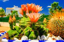 Beautifully Flowering Cactus, ...