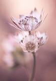Fototapeta Kwiaty - Jarzmianka major - różowe  kwiaty