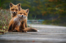 Wild Baby Red Foxes At The Beach, June 2020, Nova Scotia, Canada