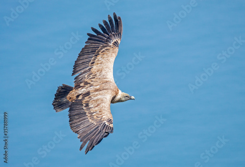 Griffon vulture (Gyps fulvus) over the sea. Wallpaper Mural