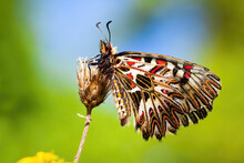 Colorful Southern Festoon, Zerynthia Polyxena, Sitting With Wings Closed In Vivid Nature. Fragile Butterfly With White, Black And Red Patterned Wings Perched On Flower From Side View.