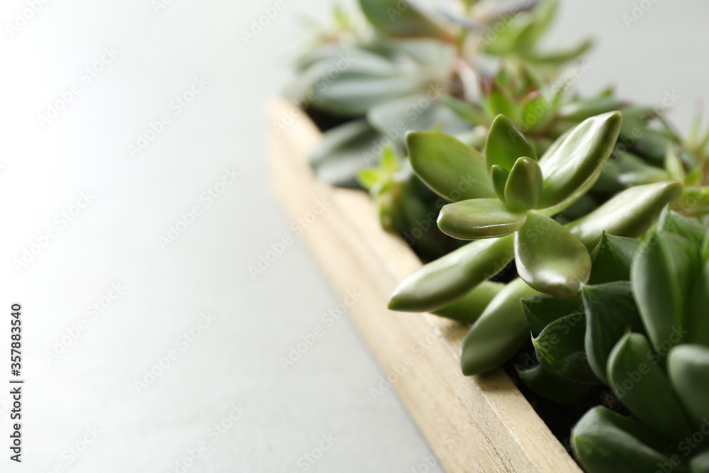 Fototapeta Many different echeverias in wooden tray on light background, closeup. Succulent plants