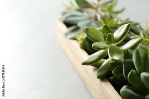 Many different echeverias in wooden tray on light background, closeup. Succulent plants