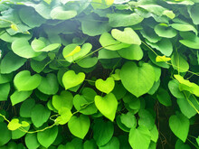 Green Leaves In The Form Of He...