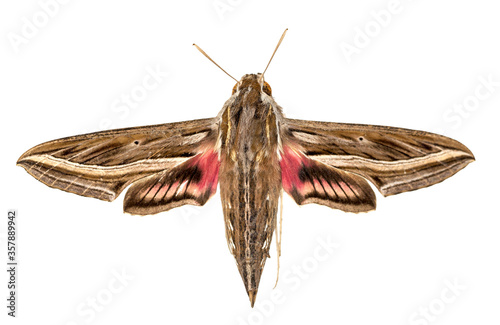 Striped Hawk-moth (Hyles livornica) isolated against white background Canvas Print