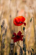 red poppies in a cereal field with green and yellow backgrounds