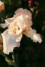 Beautiful Peach Blossom Iris ...