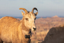 Female Collared Bighorn Sheep ...