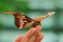 Big Butterfly Attacus Atlas On...