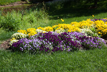 Yellow And Purple Pansy