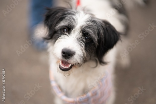 Selective focus shot of white and black Havanese dog