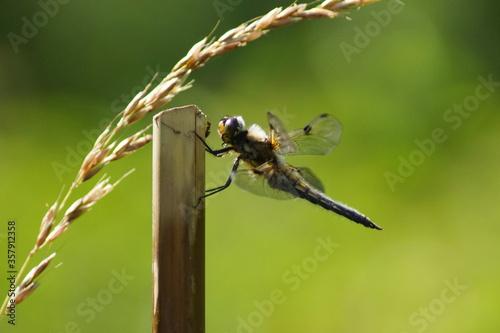 Obraz na plátně Eine große Libelle an einem Stab mit einer Ameise und einem Kornhalm an einem Te