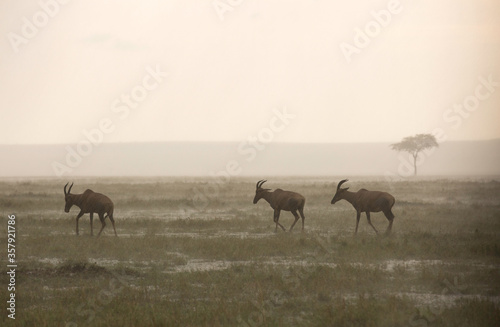 Canvastavla Topi antelopes in rain at Masai Mara, Kenya