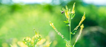 A Bee On A Yellow Flower While Collecting Pollen On A Yellow-green Blurred Background, A Banner For The Site. Summer. Panorama. The Text Space Is Blurred