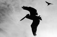 Pelican Flying On A Grey Sky