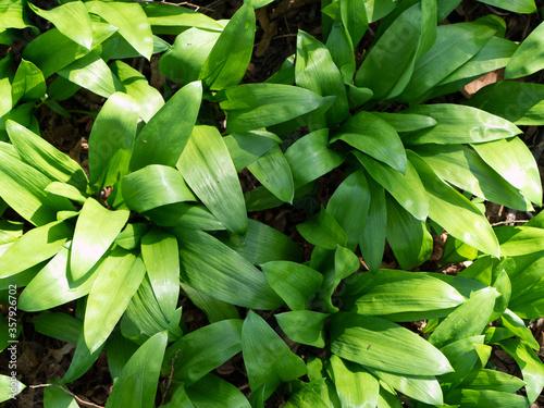 Field of allium ursinum, also known as ramsons, buckrams, wood or wild garlic and bear leek Billede på lærred