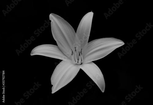 Fototapety, obrazy: white lily on black