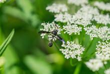 Potter Wasp On Ground Elder Fl...