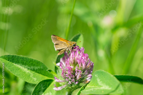 Valokuva Tawny Edged Skipper Feeding on Red Clover Flowers