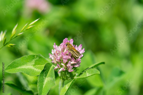 Valokuvatapetti Tawny Edged Skipper Feeding on Red Clover Flowers