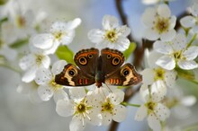 Common Buckeye Butterfly On White Flowers