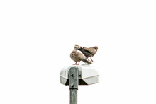 Turtledoves Perched On Street Lamp