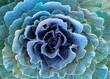 canvas print picture - Ornamental Purple Kale or Cabbage