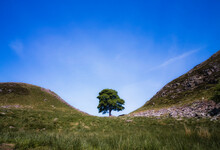 The Sycamore Gap Tree Located Along Hadrian's Wall. This Tree In Northumberland Was Name England's Tree Of The Year And Appears In The Film Robin Hood : Prince Of Thieves.