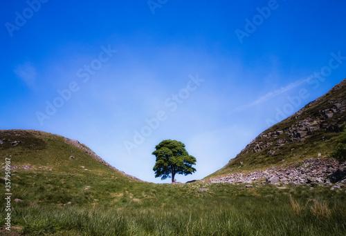Fototapeta The Sycamore Gap tree located along Hadrian's Wall