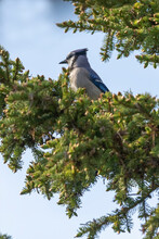 The Blue Jay On The Spruce. Th...