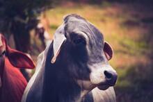 Beautiful Costa Rican Cows ( Z...
