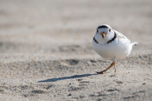 Funny Look Of Piping Plover Walking On The Beach
