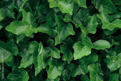 Lush green background with ivy leaves Fototapeta