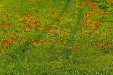 Field Full Of Beautiful, Red Common Poppy Flowers Gleaming Under The Sun
