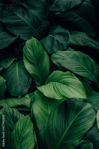 Obraz tropical leaf, abstract green leaf texture, nature background - fototapety do salonu