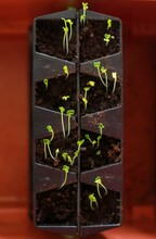 Vertical Closeup Shot Of Chinese Cabbage  Growing Indoor In A Cultivating Box
