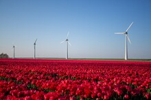 Landscape Shot Of A Field Of Red Tulip Flowers With Wind Turbines