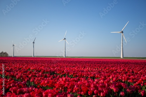 Fototapeta Landscape shot of a field of red tulip flowers with wind turbines